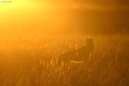 Cheetah during sunrise