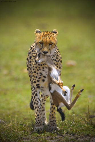 Cheetah with a baby Gazelle