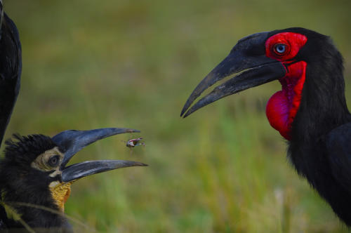 A Southern ground hornbill feeding the Juvenile